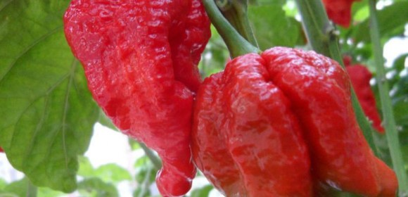 Trinidad Scorpion Peppers Butch T 6 Fresh Picked