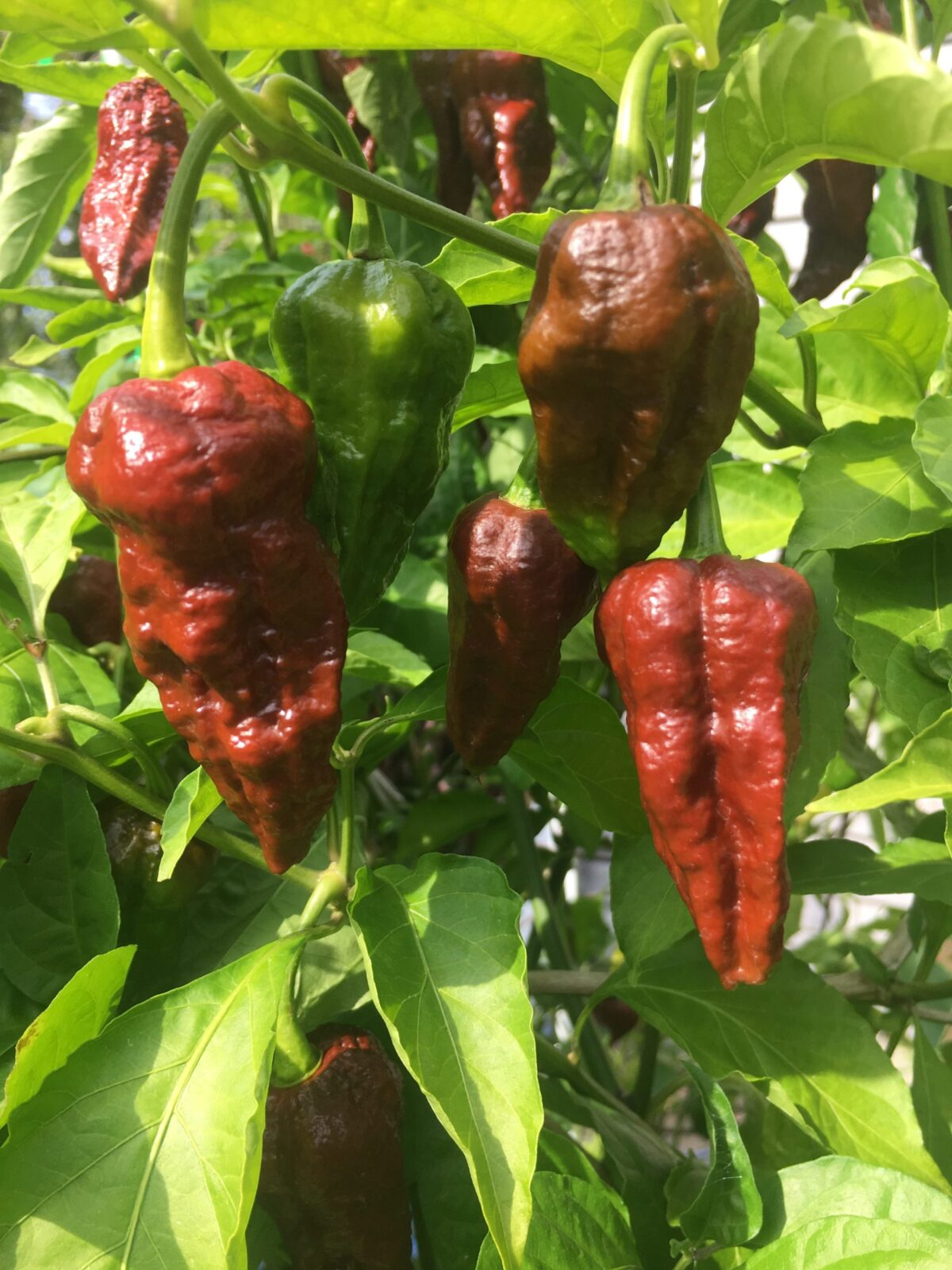 Chocolate Bhutlah Peppers fresh-picked